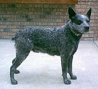 The right side of a gray, black and white Australian Stumpy Tail Cattle Dog is standing across a concrete surface, its head is tilted forward, but it is looking to the right. It has a wide forehead and perk ears.