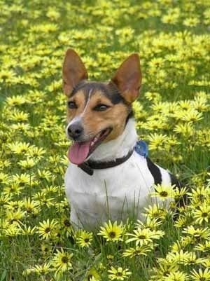 A white with black and tan Tenterfield Terrier is sitting in a field of bright yellow daisy flowers facing the left with its mouth open and its tongue sticking out. It has tall perk ears and slanted brown eyes and a black nose.