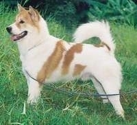 Left Profile - A red and white Thai Bangkaew Dog is standing across a grass surface, it is looking to the left, its mouth is open and its tongue is sticking out. Its body is mostly white and its tail is curled up over its back with thick fur on it.