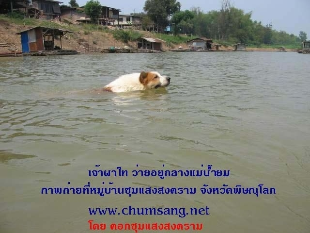A red and white Thai Bangkaew Dog is swimming across a body of water.