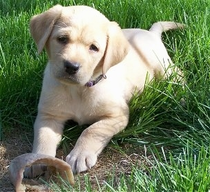 Front view - A yellow Labrador puppy is laying across a grass surface, it is looking forward and its head is slightly tilted to the right. There is a hoof chew in front of its paws.