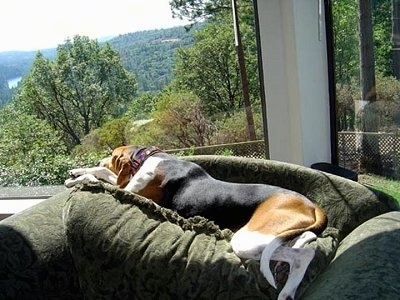 The back left side of a white, brown and black Treeing Walker Coonhound that is laying across the back of a couch in front of a large window that has a good view of a valley.