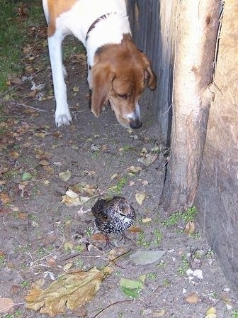 Top down view of a white and brown with black Treeing Walker Coonhound that is looking down at a bird standing in dirt.