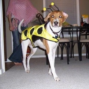 A white, black and brown Treeing Walker Coonhound is wearing a yellow with black spottted jacket and bumblebee antennas. It is standing across a carpet and it is looking forward. There is a person behind it in a pink knit shawl.