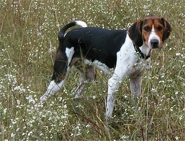 The right side of a black with white and brown Treeing Walker Coonhound dog standing across a  field with white flowers in it and it is looking forward. The dog looks like it is peeing.