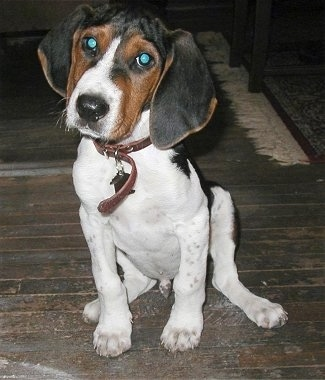 Close Up - A white with black and brown Treeing Walker Coonhound puppy with long wide drop ears is sitting across a hardwood floor, it is looking forward and its head is slightly tilted to the right. The dog has round eyes that are glowing green and a black nose.