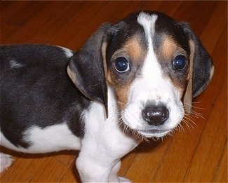 Tugger, the Treeing Walker Coonhound as a young pup