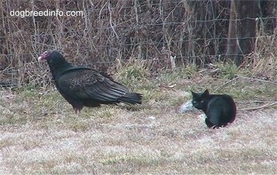 Turkey Vulture walking away from a stalking cat