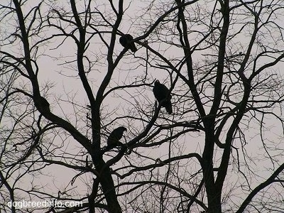 Four Turkey Vultures in a tree.