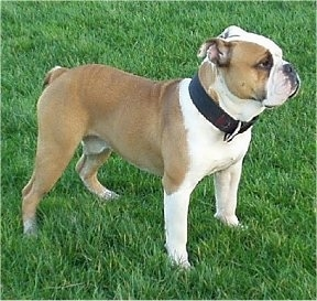 The front right side of a wide tan with white and black Victorian Bulldog is standing across a field and he is looking to the right. The dog is wearing a thick black collar.