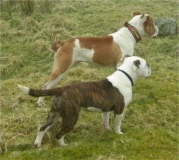 The back right side of two Victorian Bulldogs that are standing across a grass surface and they are looking to the right. One dog has a small docked bob tail and the other dog has a long tail that it is holding out level with its body.
