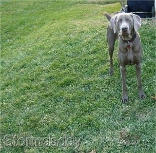 Front view - A silver Weimaraner dog is standing at the top of a hill and it is looking forward.