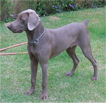 The front left side of a Weimaraner puppy that is standing across a grass yard and it is looking to the left. The dog has a docked short tail and soft wide drop ears. It is wearing a choke chain collar.