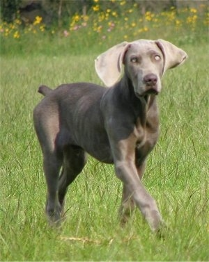 The front right side of a Weimaraner that is walking across a field and it is looking forward. The dog has wide drop ears and silver eyes.