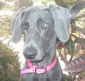 Close up head shot - A silver Weimaraner dog is sitting outside in front of a tree and it is wearing a pink collar. The dog has yellow eyes.