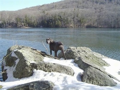 The back of a Weimaraner that is standing on a snow covered rock in front of a large body of water. The dog is looking back at the camera.