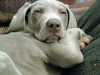 Close up - A gray Weimaraner puppy is laying down on a couch and it is looking forward. It has a gray nose and extra skin. The dog looks sleepy.