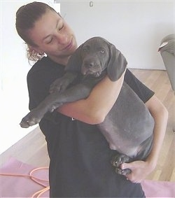 A dark gray Weimaraner puppy is being held in the arms of a lady in a black shirt. The pup has long legs and wide soft drop ears.