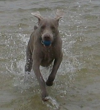 Front view - A Weimaraner dog is running through water with a ball in its mouth.