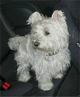 The front right side of a long coated West Highland White Terrier dog standing across the backseat of a vehicle.