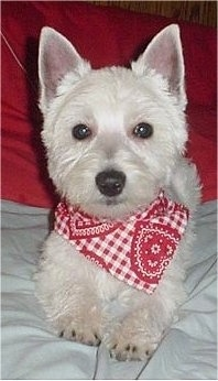 A West Highland White Terrier is laying on a couch and it is wearing a bandana. The hair on its face and ears is cut short.