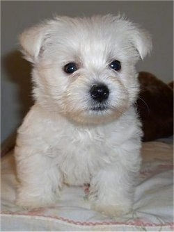 A West Highland White Terrier puppy is sitting on top of a bed and it is looking forward. It has dark round eyes, a black nose and black lips. It has small fold over ears.