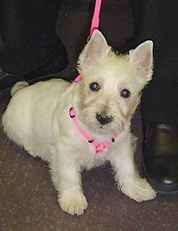 The front right side of a West Highland White Terrier puppy that is sitting on a carpet and to the right of it is a persons foot. It is wearing a pink leash and harness.