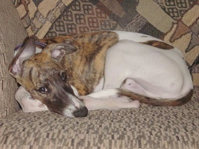 The left side of a white with brindle Whippet that is laying down on a couch and it is looking forward. The dog has a long snout and big ears with a black nose.