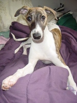Front view - A white with brindle Whippet dog is laying on a purple blanket and it is looking forward.