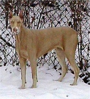 A light brown Doberman Pinscher has snow on its face while standing in front of a chainlink fence with snow on the ground.