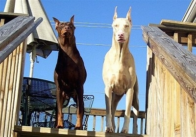 A black and tan Doberman standing next to a white Doberman at the top of a wooden deck with a table, chair and umbrella behind them