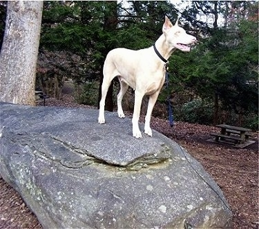 A white Doberman Pinscher is standing outside on top of a large rock with woods and a picnic table behind him.