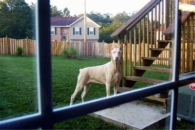 A white Doberman Pinscher is standing in front of a set of wooden steps in a yard and looking into the window of a house at the person taking the picture.