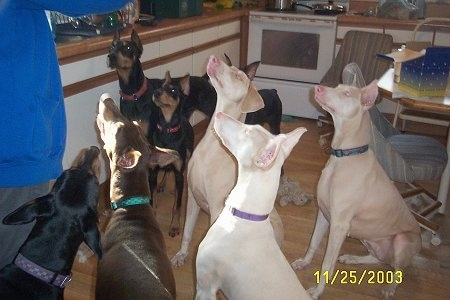 Eight Doberman Pinschers are sitting and standing in a kitchen and looking up at a person holding a treat. Three of the Doberman dogs are black and tan, one is red and rust and three are white.
