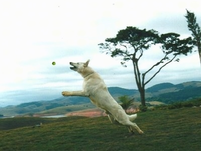 a white german shepherd is jumping up to catch a tennis ball. The dog is in mid-air and the ball is a foot from his open mouth.