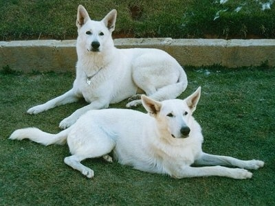 Two American White Shepherds laying down in a green lawn