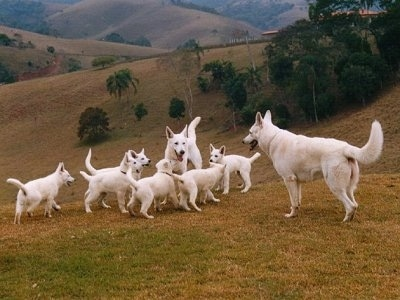 Litter of six American White Shepherd puppies playing with two adult shepherds in a field