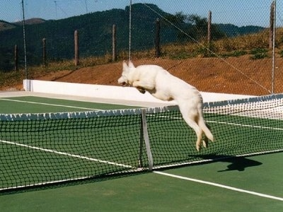 Back View of A White German Shepherd jumping over a tennis net on a tennis court with all four paws off of the ground as it jumps