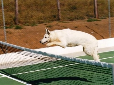 a white german shepherd is jumping over a tennis net on a tennis court with all four paws off of the ground