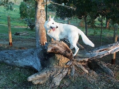 American White Shepherd standing on fallen trees with its mouth open and its tongue out