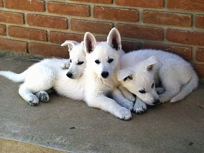Three American White Shepherd puppies cuddled together against a brick wall