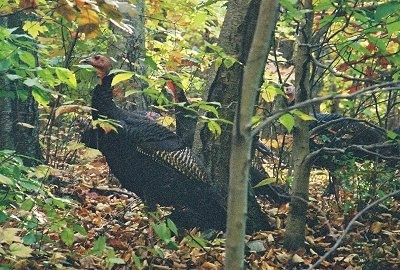 Wild turkeys are standing in a wooded area looking to the left.