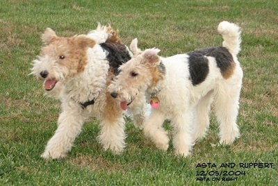 Two white with black and tan Wire Fox Terriers are running across a grass surface, there mouths are open and tongues are out. Their ears are flying up in the air.