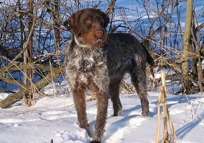 A large breed, wavy coated, black with brown and white Wirehaired Pointing Griffon dog standing in snow looking to the right. It has snow on its mouth. The dog has a beard.