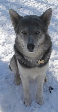 Wolf Dog Breed Hybrid Information And