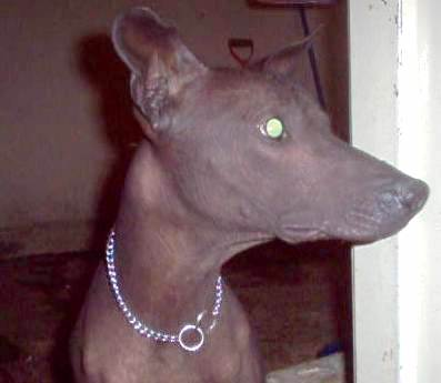 Close up - The right side of a brown Xoloitzcuintli dog wearing a chain collar looking to the right. The dog has a pointy snout, a dark gray nose, perk ears and wide round eyes that are glowing green.