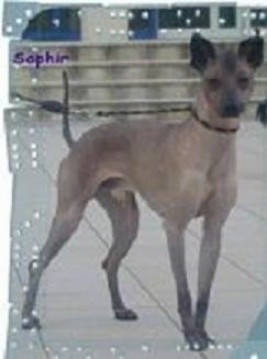 The right side of a tan Xoloitzcuintli dog standing across a white tiled floor. Overlayed is the word - Sophie.