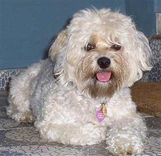 A light tan Yorkipoo is laying on a tiled surface, its mouth is open and its tongue is hanging out. It has a big black nose, dark round eyes that are partly covered in hair and a pink tongue.