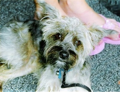 Close up - Top down view of a tan with black Yorkipoo that is standing on a carpet and it is looking up. It has a big black nose and wide-set perk ears that stand out to the sides with wide round brown eyes and longer hair on its face.