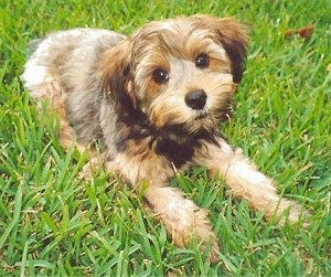 The front right side of a thick-coated, black and brown Yorkipoo dog laying across grass, its head is slightly tilted to the left and it is looking up. It has wide round brown eyes and a black nose. The hair around its eyes is trimmed shorter.